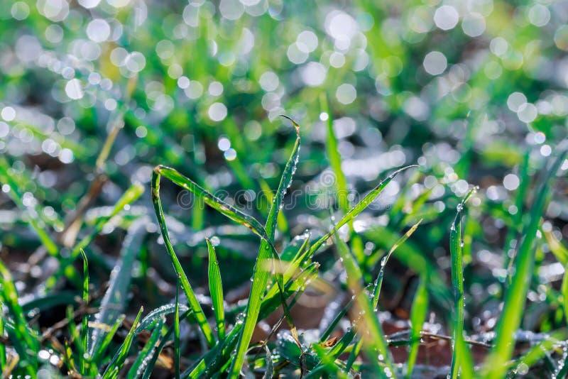 Het verse groene die dille groeien in de tuin met regen wordt behandeld laat vallen het schitteren in het zonlicht stock foto's