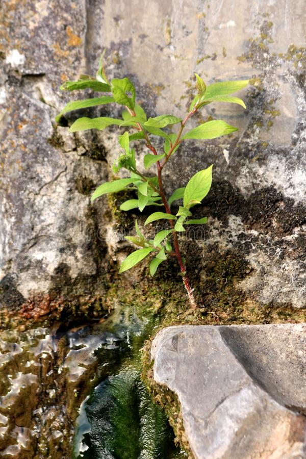 Het verse jonge boom groeien van klein flard van grond bovenop oude die steenfontein met steen en nat groen mos wordt omringd stock foto's
