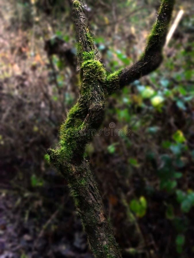 Het verse levende mos groeien op een boom royalty-vrije stock afbeelding