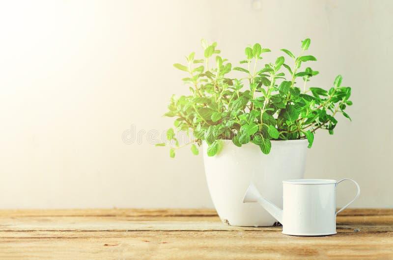 Het verse melissa kruid groeien in pot op houten achtergrond Organische kruiden met zonnige lekken De ruimte van het exemplaar ba royalty-vrije stock afbeeldingen