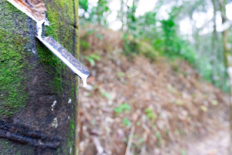 Het verse melkachtige latex haalde dalingswater uit paragraaf-rubberboom in een plastic kom, Thailand royalty-vrije stock foto's