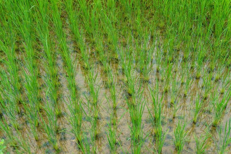 Het verse rijst ontspruiten op een padieveld royalty-vrije stock fotografie