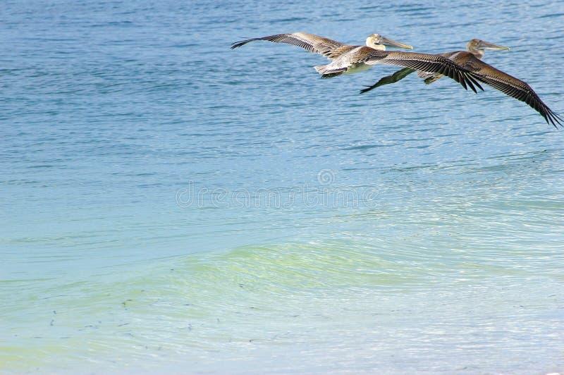 Het Vertrekken van pelikanen stock fotografie