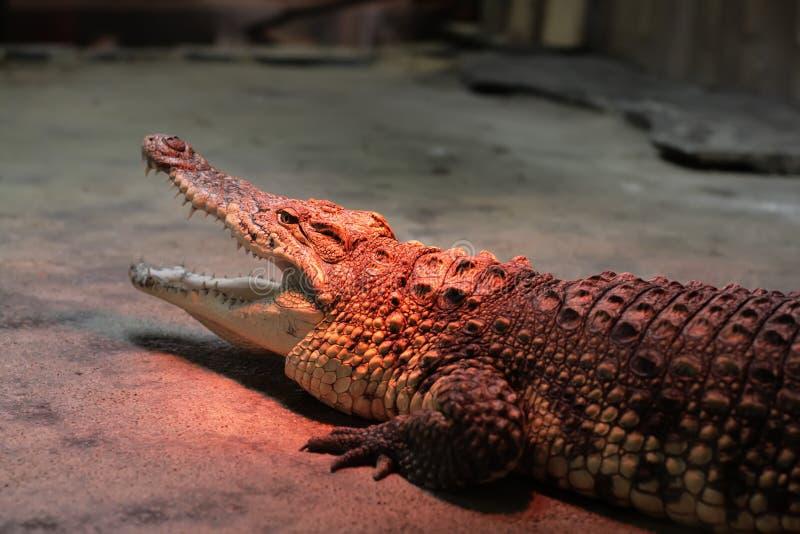 Krokodil het verwarmen bij de dierentuin stock afbeelding