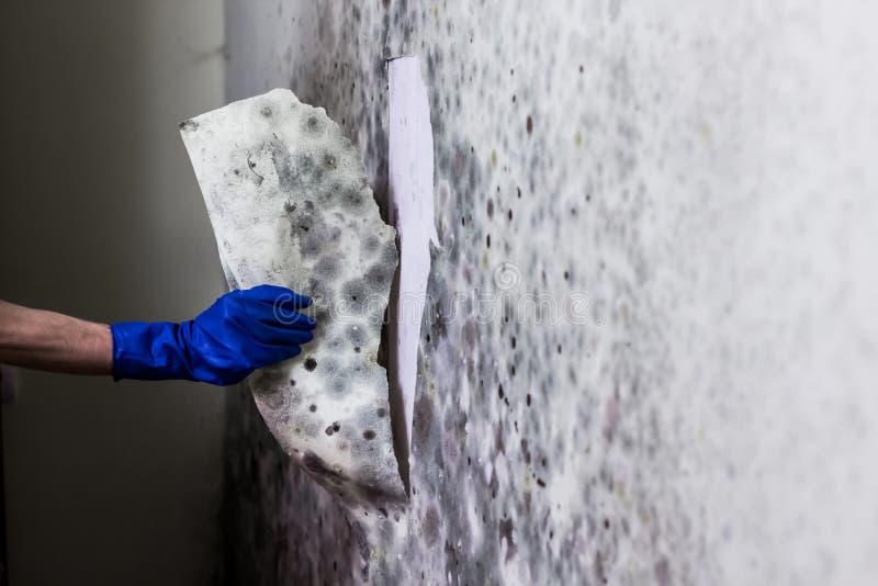 Het verwijderen van vorm uit de muur in het huis stock foto
