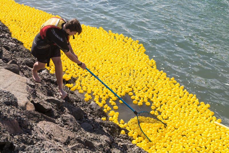 Het verzamelen van duizenden rubbereenden na een eendras op de haven stock foto