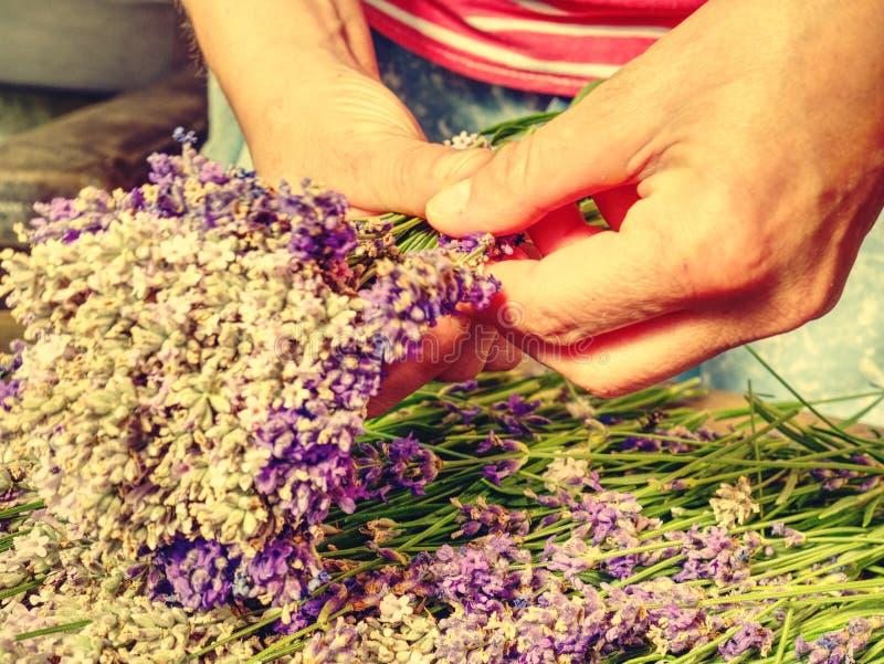 Het verzamelen van een boeket van lavendel De greepboeket van meisjeshanden stock foto's