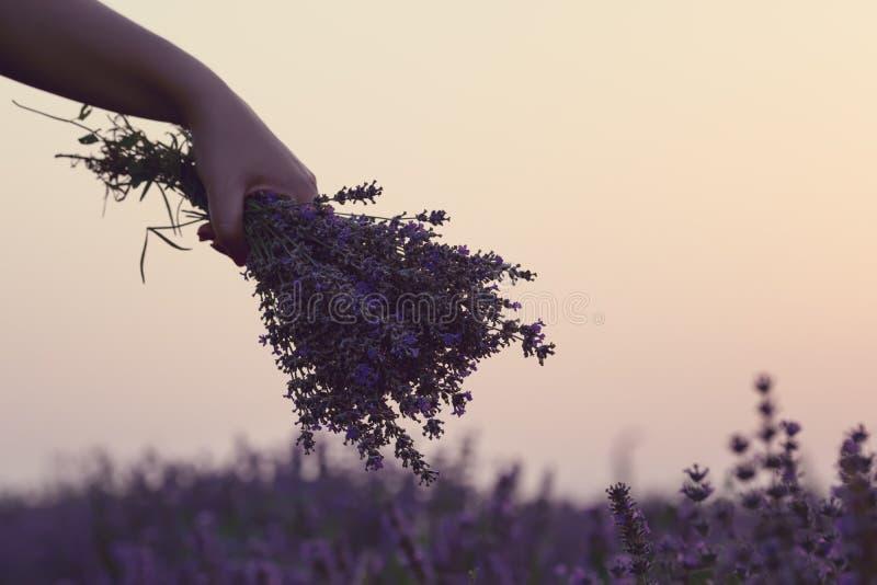 Het verzamelen van een boeket van lavendel Meisjeshand die een boeket van verse lavendel op lavendelgebied houden Zon, zonnevel,  stock foto