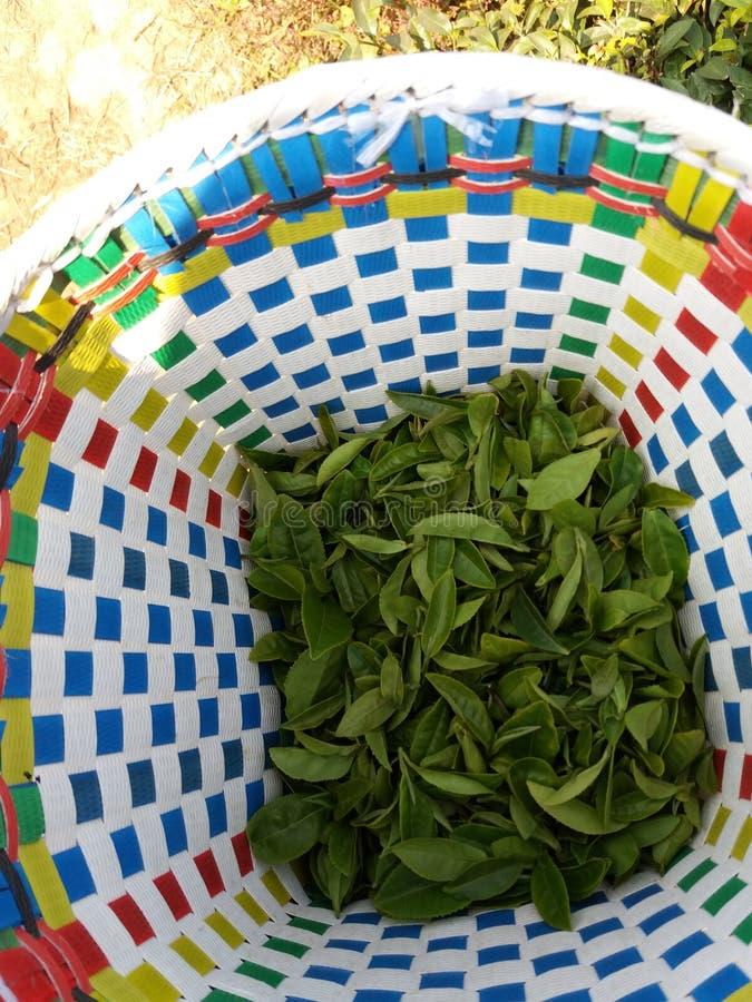 Het verzamelen van groene thee royalty-vrije stock foto