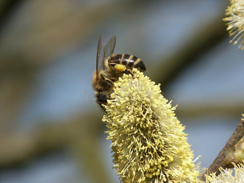 Het verzamelen van Honing stock afbeeldingen