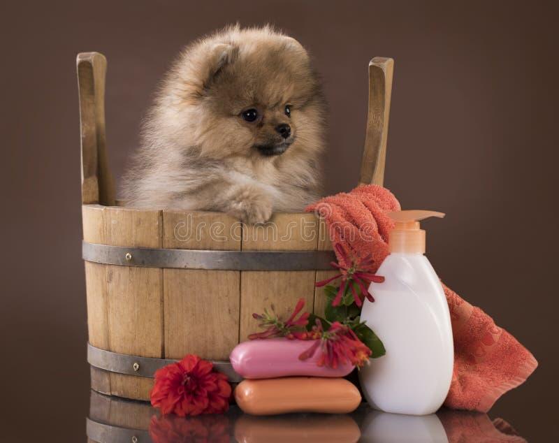 Het verzorgen spitz puppy royalty-vrije stock foto's