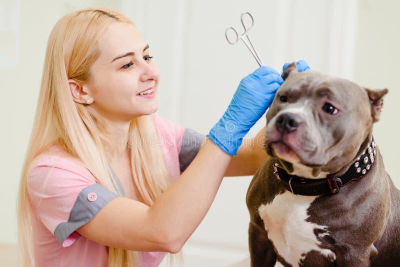 Het veterinaire werken met Amerikaan intimideert royalty-vrije stock afbeeldingen