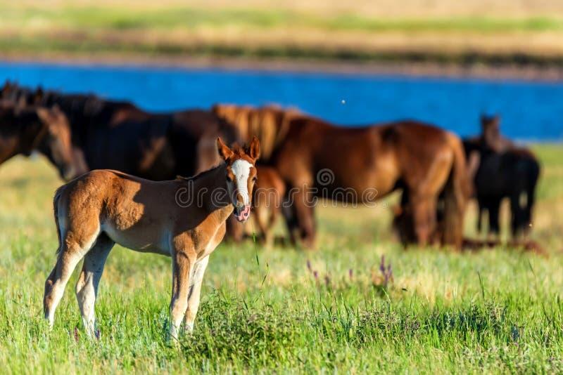 Het veulen en de wild paarden weiden in de zonovergoten weide stock foto