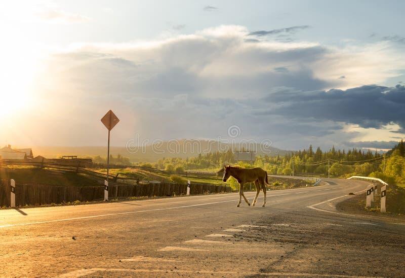 Het veulen kruist de weg stock foto