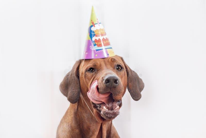 Het vieren van de hond verjaardag stock afbeelding