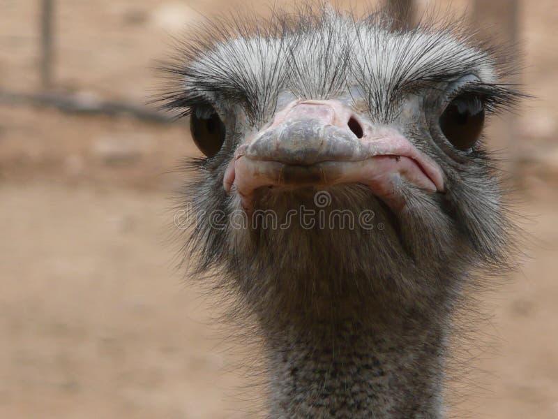 Het vijandige kijken struisvogel royalty-vrije stock foto's