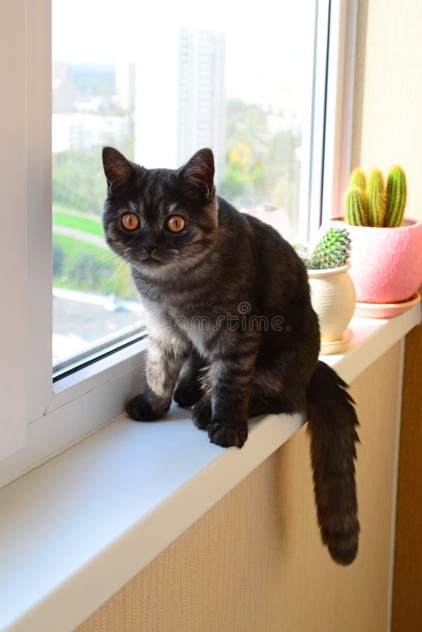 Het vijf-maand-oude katje zit op vensterbank stock afbeelding