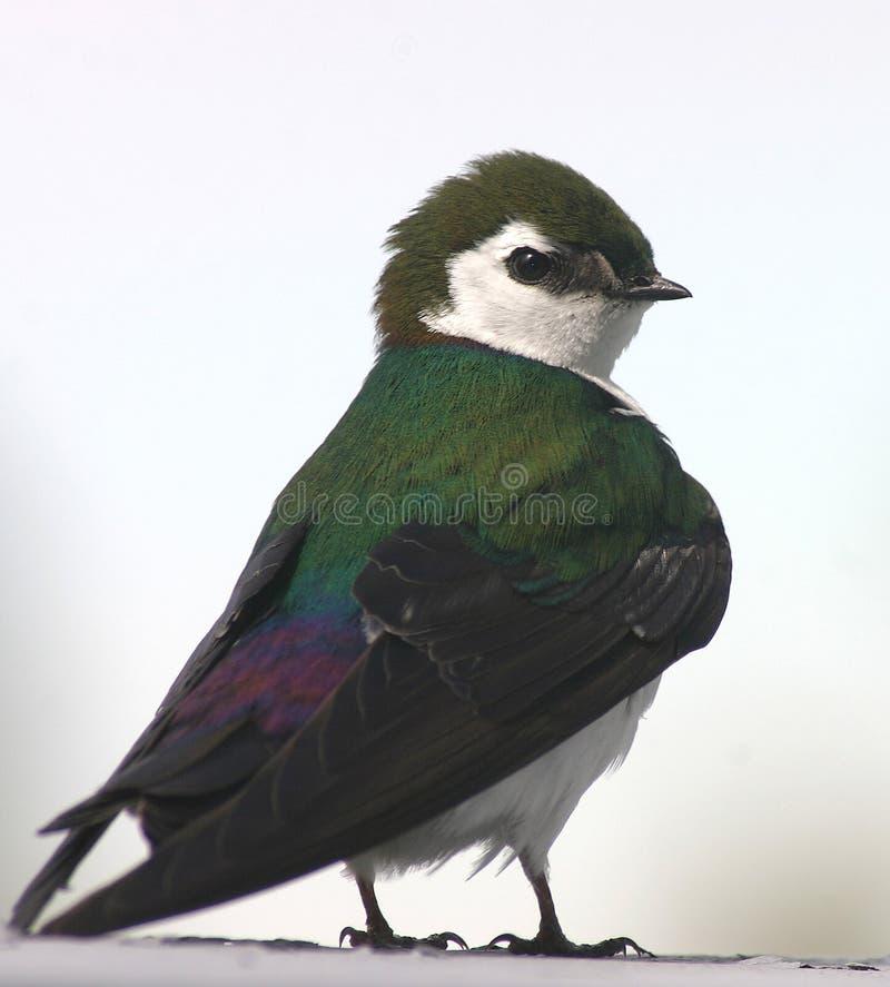 Het violet-green slikt stock foto