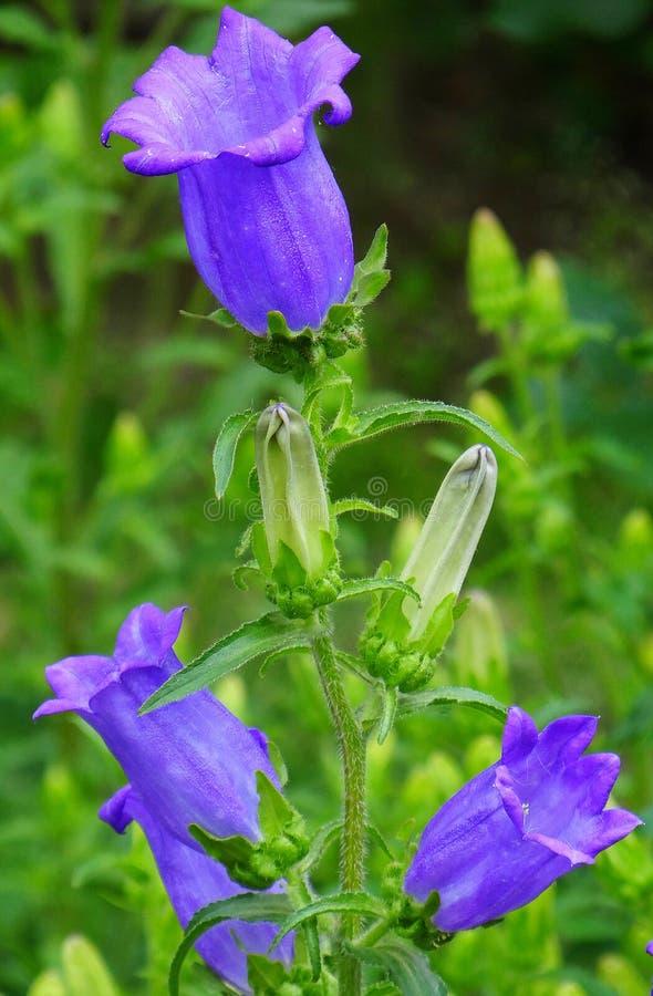 Het violette klokje van tuinklokken stock afbeelding