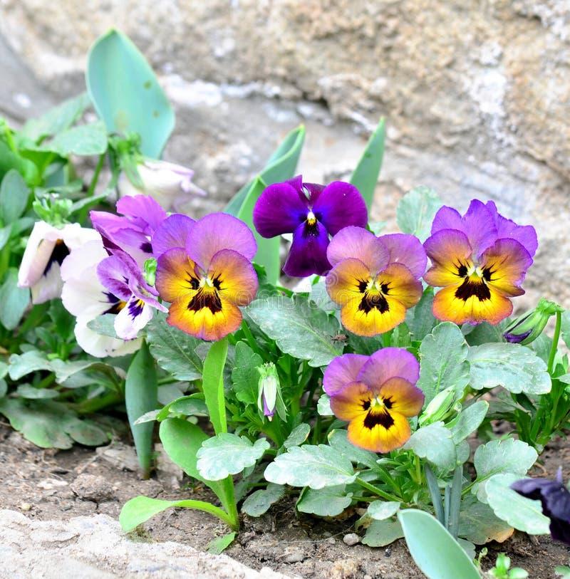 Het viooltje van altviooltricolor royalty-vrije stock foto