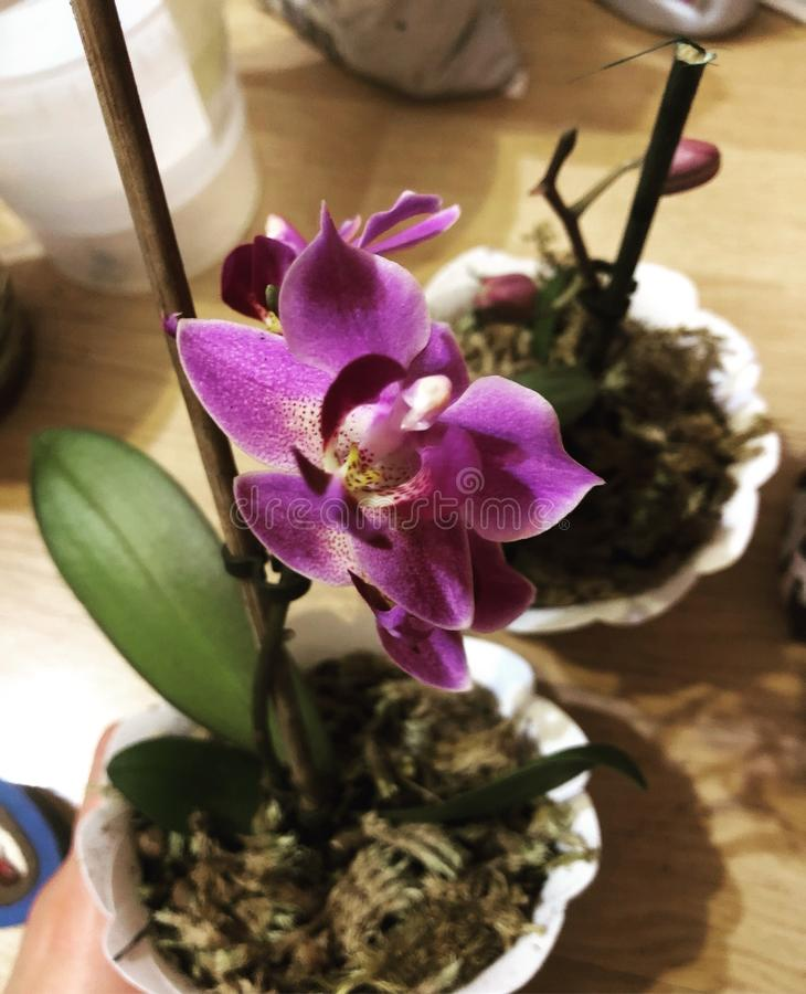 Het viooltje van de orchidee stock foto