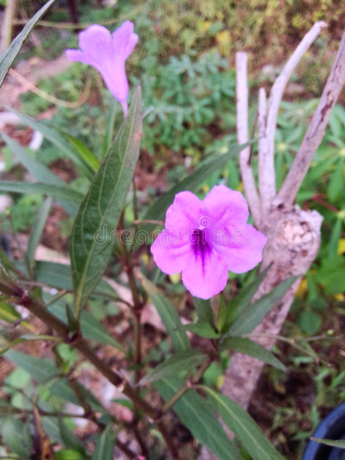 Het viooltje is vandaag blauwe bloemen stock afbeelding