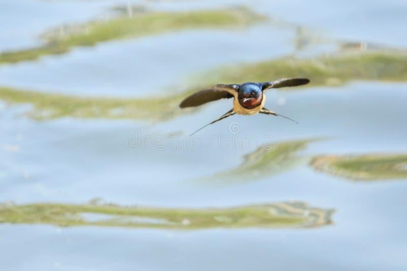 Het vliegen boerenzwaluw stock afbeelding
