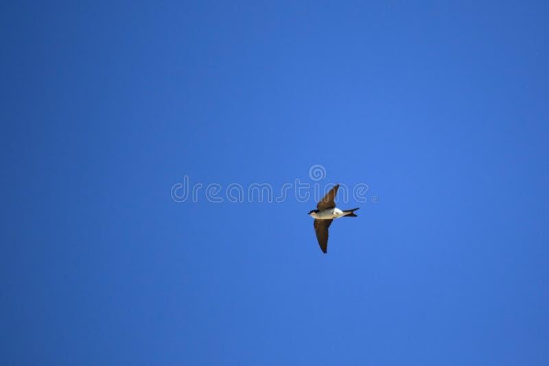 Het vliegen boerenzwaluw stock foto's