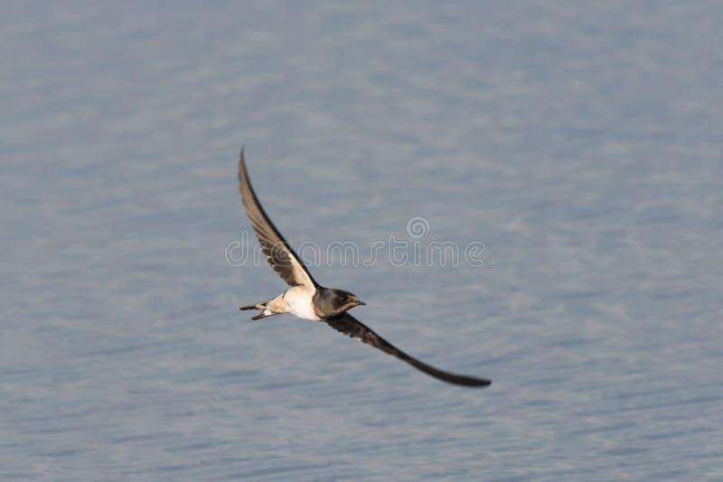 Het vliegen boerenzwaluw royalty-vrije stock fotografie