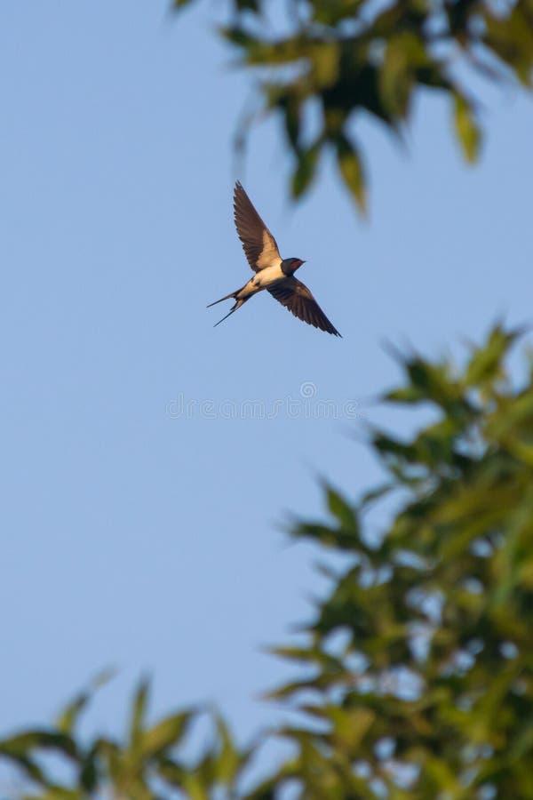 Het vliegen boerenzwaluw in de V.A.E stock foto