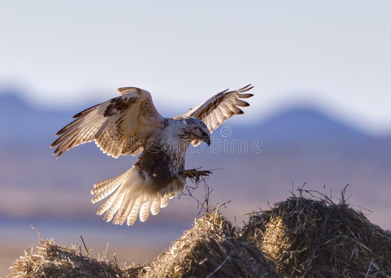 Het vliegen Buizerd royalty-vrije stock fotografie