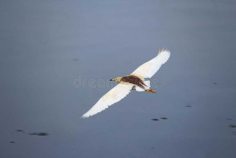 Het vliegen door de vijver aan linkerzijde royalty-vrije stock foto's