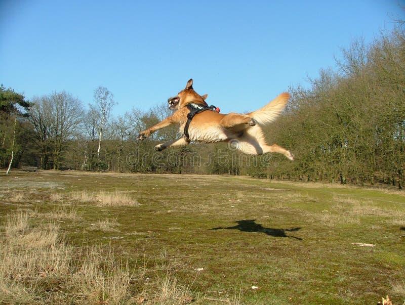 Het vliegen dutchdog in het bos royalty-vrije stock fotografie
