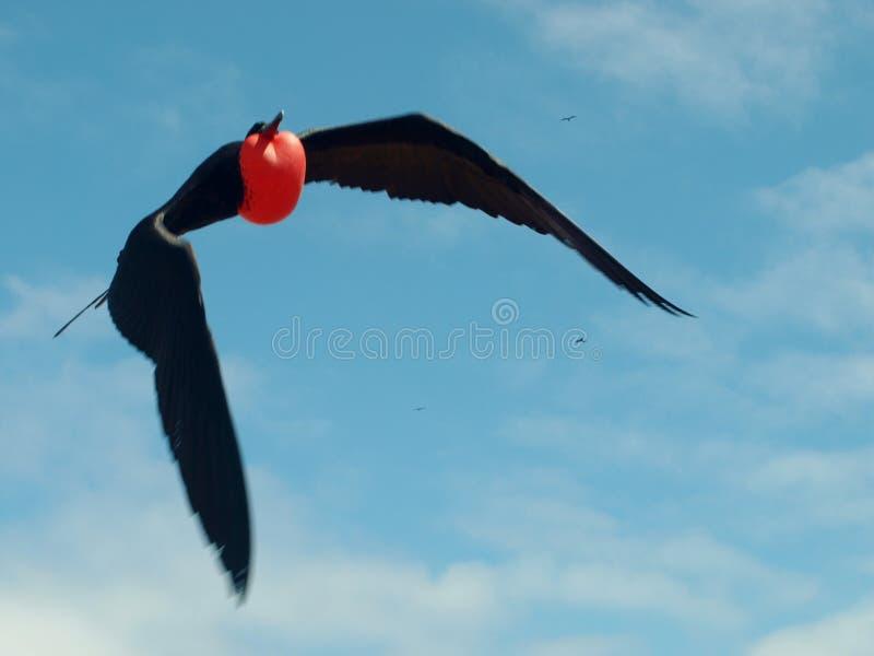 Het vliegen frigatebird met opgeblazen rode gular zak stock afbeelding