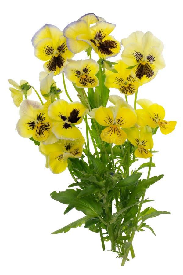 Het vliegen geel Juni pansies stock afbeeldingen