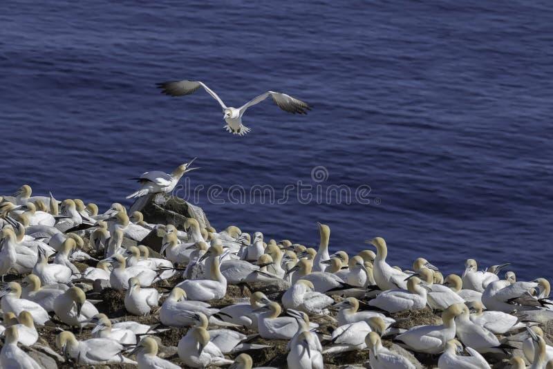 Het vliegen Jan-van-gent bij de Rand van de Kolonieklip stock fotografie