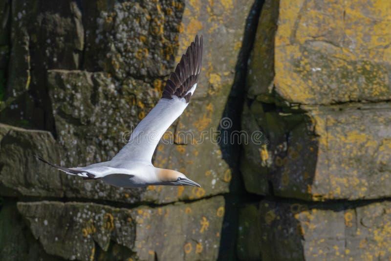 Het vliegen Jan-van-gent met een Rots Cliff Background stock afbeeldingen