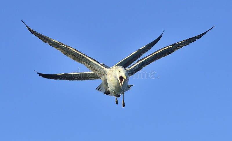 Het vliegen Jeugddiedominicanus van Larus van de Kelpmeeuw, ook als de Dominicaanse meeuw en Kelpmeeuw Met zwarte rug wordt beken royalty-vrije stock afbeeldingen