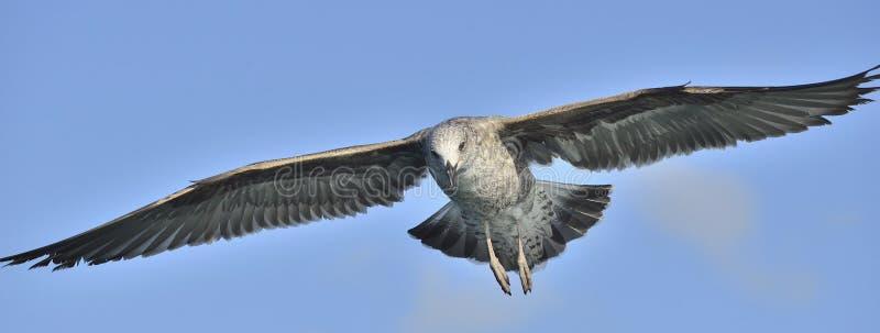 Het vliegen Jeugddiedominicanus van Larus van de Kelpmeeuw, ook als de Dominicaanse meeuw en Kelpmeeuw Met zwarte rug wordt beken stock afbeeldingen