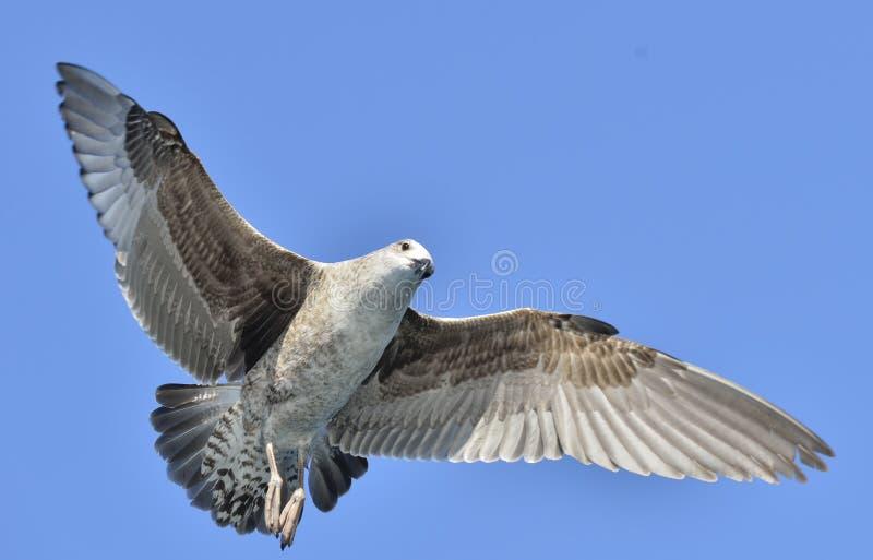 Het vliegen Jeugddiedominicanus van Larus van de Kelpmeeuw, ook als de Dominicaanse meeuw en Kelpmeeuw Met zwarte rug wordt beken royalty-vrije stock foto's
