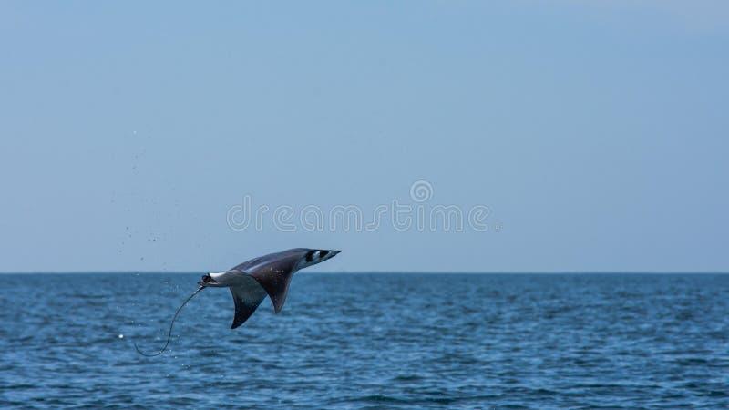 Het vliegen manta stock afbeelding