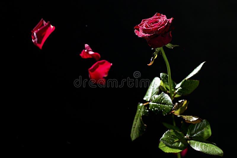 Het vliegen nam bloemblaadjes toe royalty-vrije stock fotografie