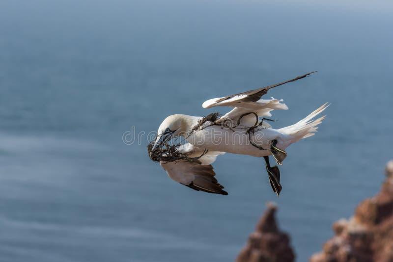 Het vliegen Noordelijke Gannett, Helgoland, Duitsland stock afbeeldingen