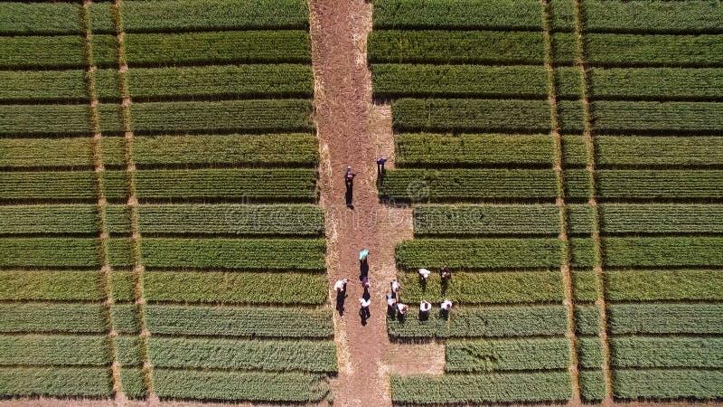 Het vliegen over het gebied met verschillende verscheidenheden van tarwe Scienti royalty-vrije stock afbeelding