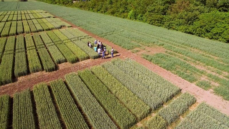 Het vliegen over het gebied met verschillende verscheidenheden van tarwe Scienti royalty-vrije stock afbeeldingen