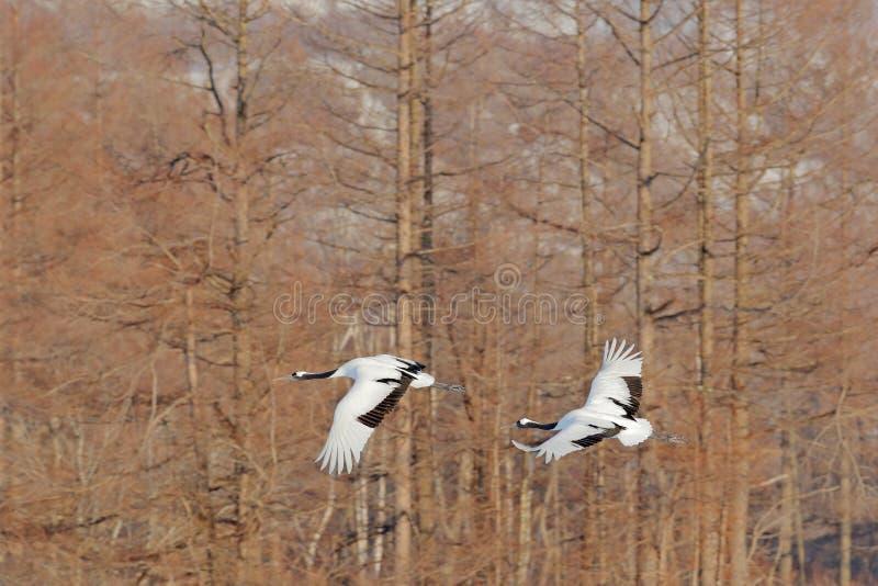 Het vliegen paar rood-Bekroonde kranen met, bosachtergrond, Hokkaido, Japan Paar mooie vogels, het wildscène van aard stock fotografie