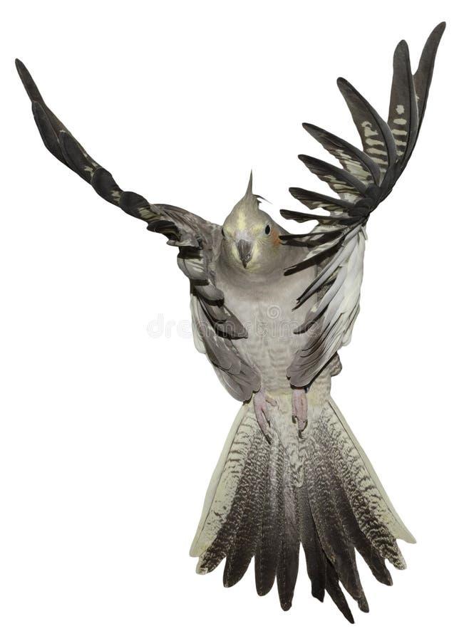 Het Vliegen van Cockatiel stock foto's