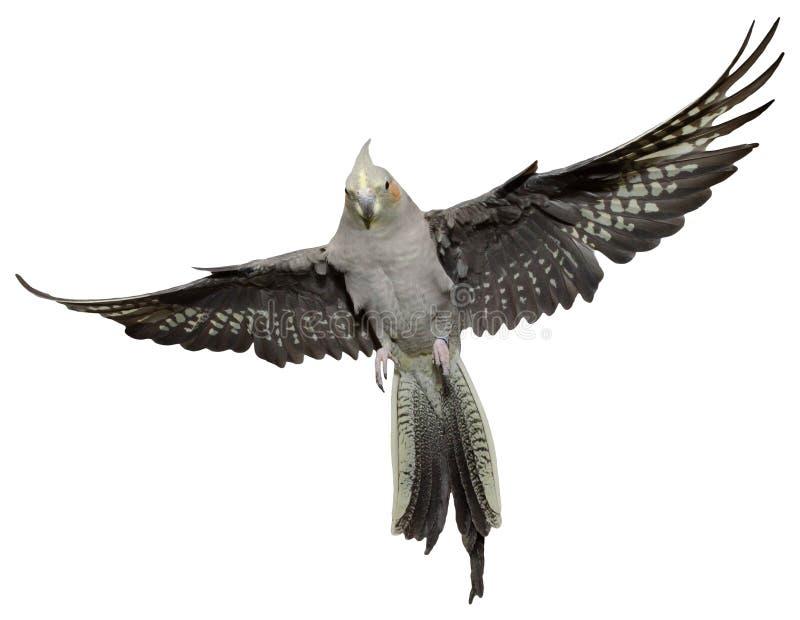 Het Vliegen van Cockatiel royalty-vrije stock afbeeldingen