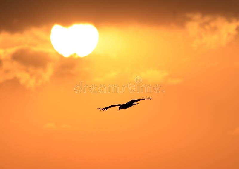 Het vliegen van de adelaar stock foto's