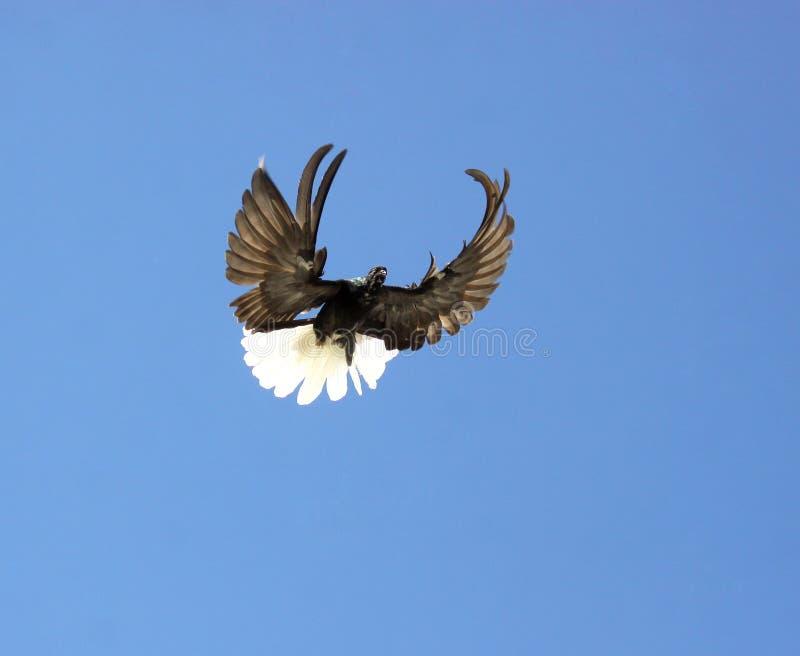 Het vliegen van de duif royalty-vrije stock afbeelding